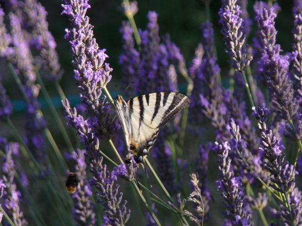Papillon qui butine la lavande de Puimoisson