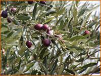 olive olivier