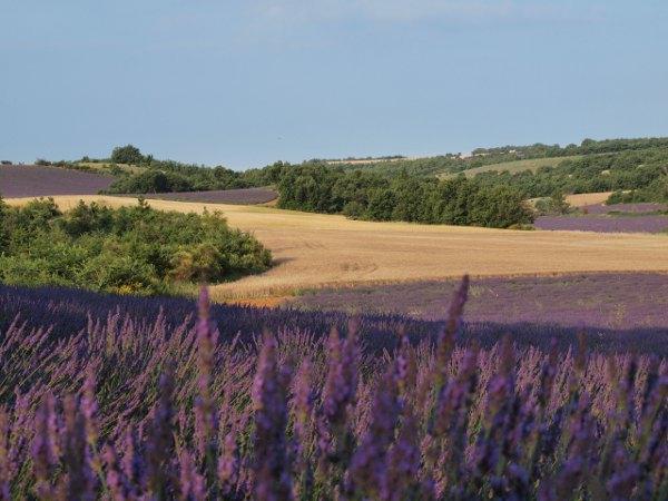 champ de lavandin sur le plateau de Valensole