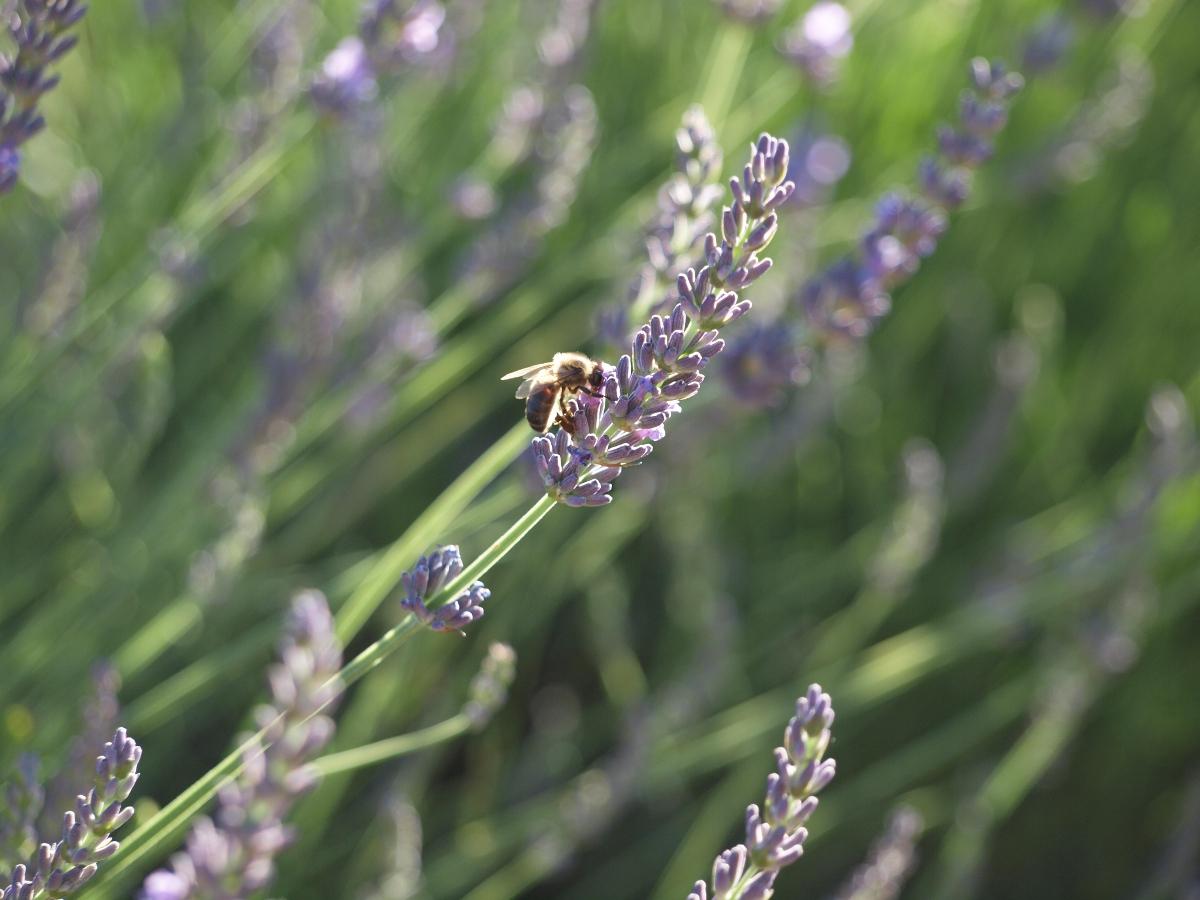 abeille au travail sur un brin de lavande