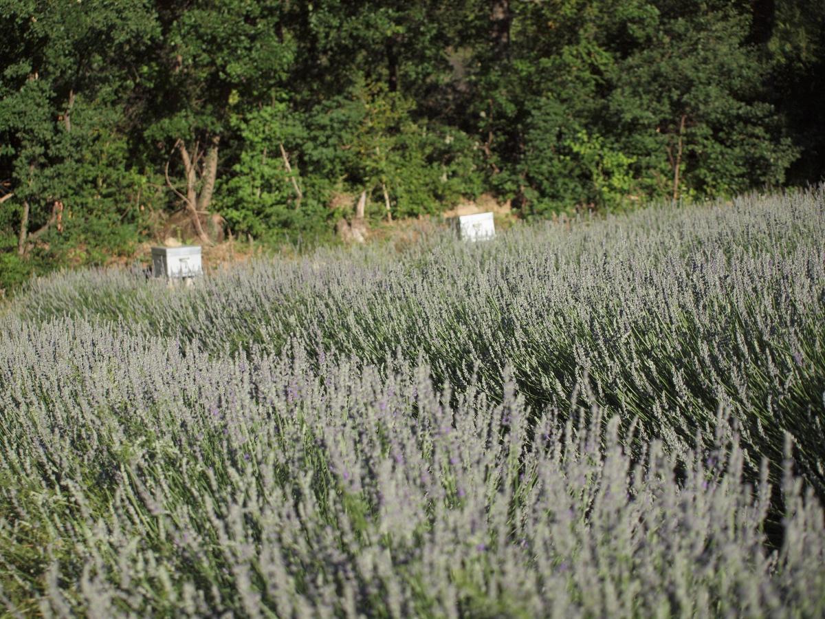 champ de lavande avec les ruches en fond