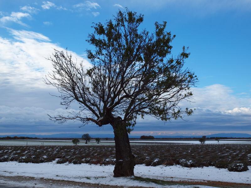 Amandier en hiver en Provence
