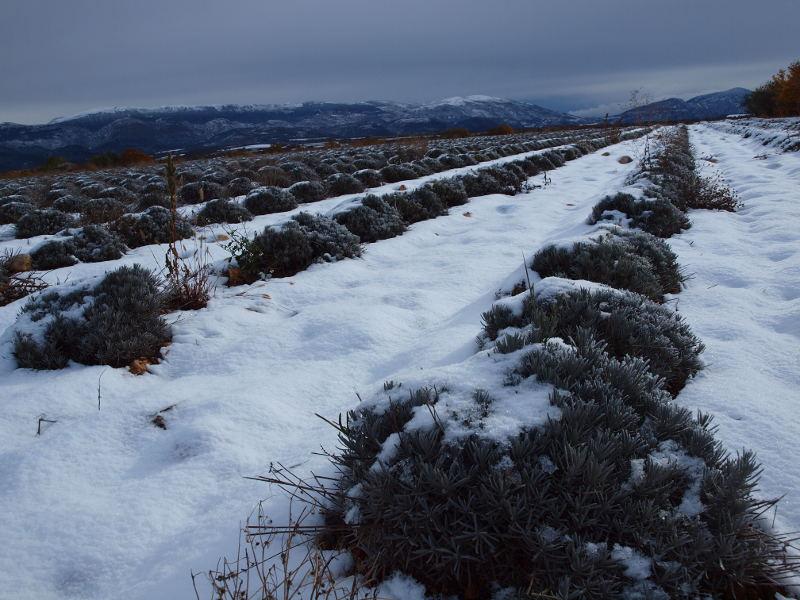 champ de lavande en hiver