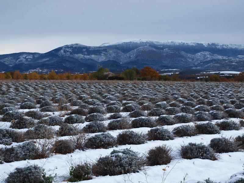 champs de lavande en hiver